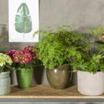 Met een Hortensia in huis leef je gezonder
